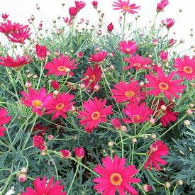 マーガレット ブリアンルージュ 5号サイズ 鉢植え 鉢花 花芽付 ひとまわり大きめの鉢に植え替えると2倍以上のボリュームに育ち沢山の花を楽しませてくれます