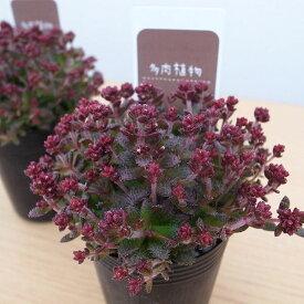 多肉植物 クラッスラ トランスパール 2.5号サイズ 苗 タニクショクブツ