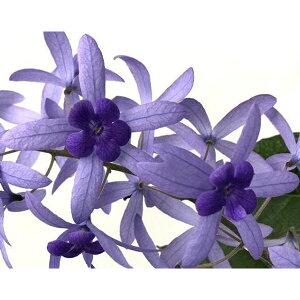 ペトレア ボルビリス 地上の星座 4号サイズ 鉢植え 紫色の花