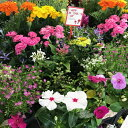 お母さん 父の日 花 寄せ植え 選べるフラワーガーデン お任せ 20株セット 季節のフラワー寄せ植えセット 誕生日 寄せ…