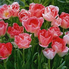 チューリップ球根 JAPANフラワーバルブオブザイヤー・アンジェリケ5球セット【チューリップ】【球根】【Tulip】販売 通販 種類【ちゅーりっぷ】