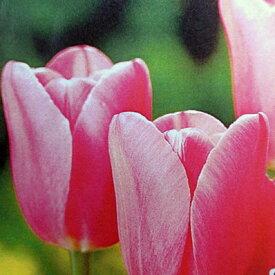 チューリップ♪富山の清流チューリップA・ミストレス5球セット【チューリップ】【球根】【Tulip】販売 通販 種類【ちゅーりっぷ】