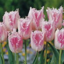 チューリップ♪富山の清流チューリップB・ハウステンボス5球セット【チューリップ】【球根】【Tulip】販売 通販 種類【ちゅーりっぷ】【ラッキーシール対応】