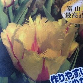 チューリップ♪富山の清流チューリップB・フラメンコ5球セット【チューリップ】【球根】【Tulip】販売 通販 種類【ちゅーりっぷ】【ラッキーシール対応】