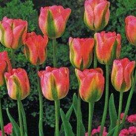 チューリップ♪人気チューリップ・グリーンランド5球セット【チューリップ】【球根】【Tulip】販売 通販 種類【ちゅーりっぷ】