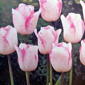 チューリップ♪人気チュ−リップ・シャーリー5球セット【チューリップ】【球根】【Tulip】販売 通販 種類【ちゅーりっぷ】【ラッキーシール対応】