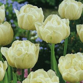 チューリップ♪JAPANフラワーバルブオブザイヤー・マウントタコマ5球セット【チューリップ】【球根】【Tulip】販売 通販 種類【ちゅーりっぷ】【ラッキーシール対応】
