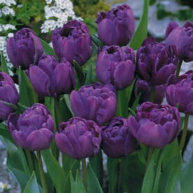 チューリップ♪人気チュ−リップ・ブルーダイヤモンド5球セット【チューリップ】【球根】【ブルーダイヤモンド】【Tulip】販売 通販 種類【ちゅーりっぷ】【ラッキーシール対応】