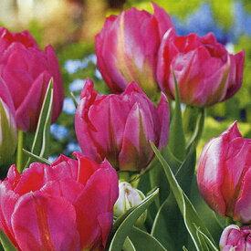 チューリップ♪JAPANフラワーバルブオブザイヤー・フラッシュポイント5球セット【チューリップ】【球根】【Tulip】販売 通販 種類【ちゅーりっぷ】【ラッキーシール対応】