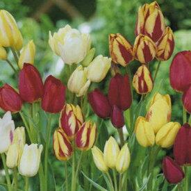 チューリップ♪変わり咲きチュ−リップ7球混合・富山産枝咲きチューリップ7球セット【チューリップ】【球根】【Tulip】販売 通販 種類【ちゅーりっぷ】【ラッキーシール対応】