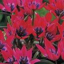 植えっぱなしで毎年花が咲くチューリップ・リトルビューティー7球セット【チューリップ】【球根】【Tulip】販売 通販 種類【ちゅーりっぷ】【ラッキーシール対応】