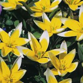 植えっぱなしで毎年花が咲くチューリップ・タルダ7球セット【チューリップ】【球根】【Tulip】販売 通販 種類【ちゅーりっぷ】【ラッキーシール対応】