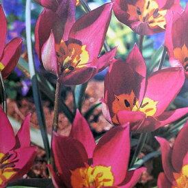 植えっぱなしで毎年花が咲くチューリップ・プルケラペルシャンパール7球セット【チューリップ】【球根】【Tulip】販売 通販 種類【ちゅーりっぷ】