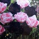 チューリップ♪デュオチューリップ・アンジェリケ&ブラックヒーロー8球セット【チューリップ】【球根】【Tulip】販売 通販 種類【ちゅーりっぷ】【ラッキーシール対応】