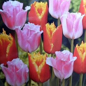 チューリップ♪デュオチューリップ・ファンシーフリル&ダベンポート8球セット【チューリップ】【球根】【Tulip】販売 通販 種類【ちゅーりっぷ】【ラッキーシール対応】