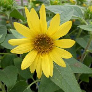 ひまわり プチヒマワリ パチーノ 花苗 コンパクトタイプのヒマワリで寄せ植えや花壇に最適です 販売 通販 種類