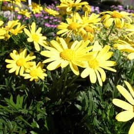 黄色の花♪緑葉ユリオプスデージー苗【花苗】【ユリオプス】
