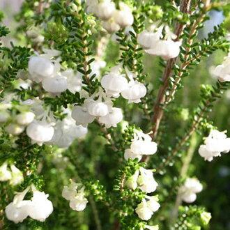 许多用像铃兰Erika 4号盆栽♪铃兰那样的白色的小花可爱的/清楚耐用的花/销售/邮购/种类/常绿矮树/花苞/