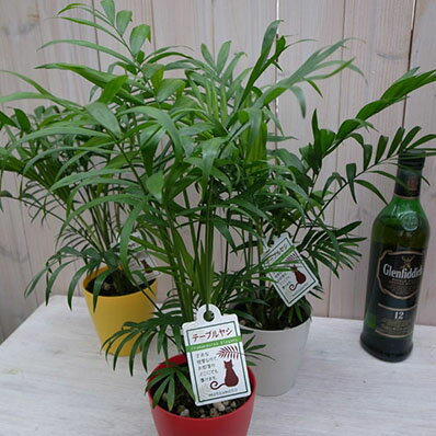 テーブル ヤシ カラー鉢植え4号 育てやすい室内 ヤシ観葉植物 ヤシの木 販売 通販 種類 ヤシ【ラッキーシール対応】