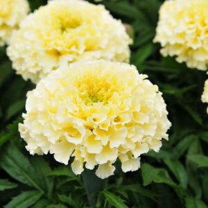 マリーゴールド バニラ苗3株セット 花苗 花芽付き まるでバニラのような色をした大輪の花を咲かせるマリーゴールド 派手さはないけどさりげない素敵な花です 販売 通販 種類 イエロー 黄