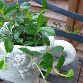 フィカス シャングリラ ガジュマル 観葉植物 ガジュマルの生態のありのままの姿を見ることができます幸福をもたらすといわれるガジュマル観葉植物 フィカス シャングリラ【ラッキーシール対応】