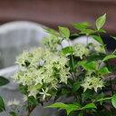 【クーポン利用で200円OFF】シナモンマートル 3.5号 鉢植え シナモンの香りが楽しめる不思議植物 販売 通販 種類【ラ…
