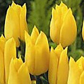 チューリップ JAPANフラワーバルブオブイヤー ストロングゴールド5球セット【チューリップ】【球根】【Tulip】販売 通販 種類