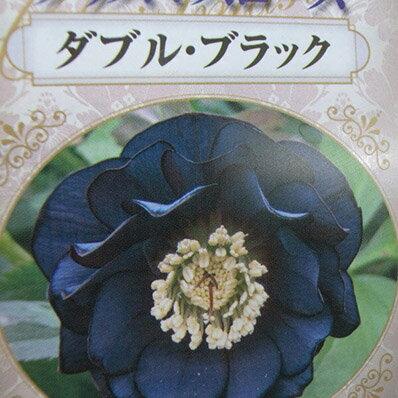 杉山交配 クリスマスローズ ダブル ブラック【花苗】【クリスマスローズダブル】【Christmas rose】【Double】【Black】販売 通販 種類【ラッキーシール対応】