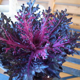 葉牡丹 ハボタン 神戸ジェンヌハボタン ブラックスワン レア品種ハボタン 光沢ある黒味を帯びた葉が魅力です 花苗 はぼたん お正月 販売 通販 種類