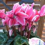 シクラメンファンタジアピンク5号サイズ鉢植え複色咲きが魅力鉢花ギフトプレゼント販売通販種類