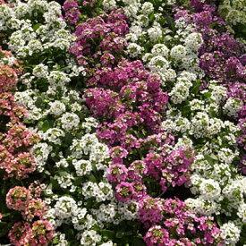 スウィートアリッサム3色 3株セット カラフルな花色が魅力で寄せ植えやハンギングに人気の花 販売 通販 種類【ラッキーシール対応】