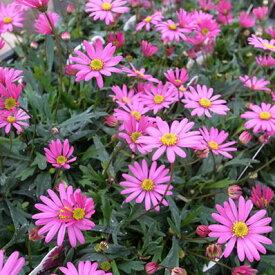 ブラキカム チェリッシュ 丈夫でガーデニング向きの花 日光大好き 花苗 販売 通販 種類