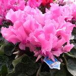シクラメンひらりもも5号サイズ鉢花雪印種苗開発の最新品種で中輪系で花立ち良いフリル系品種ギフトにも最適な鉢植え販売通販種類