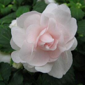 八重咲き インパチェンス シルエット アップルブロッサム 花苗 ピンク花 ガーデニング