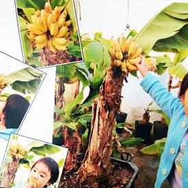 ドワーフ モンキーバナナ 通常のバナナより低く60cmから80cm程で結実し始めるので家庭菜園に人気 販売 通販 種類【ラッキーシール対応】
