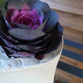 ハボタン ブラックルシアン 葉牡丹 黒々した葉に中心部が赤みを増すベルサイユシリーズのハボタン お正月寄せ植えのワンポイントに最適な植物 販売 通販 種類