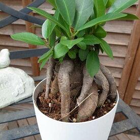 ニンジンガジュマル4号サイズ 鉢植え 沖縄の精霊キジムナーが宿るとされる不思議な木 販売 通販 種類 観葉植物【ラッキーシール対応】