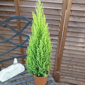 コニファー/ゴールドクレストウイルマ/ゴールドクレスト 鉢植え 4号サイズ高さ50センチ/クリスマスツリー販売 通販 種類
