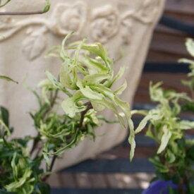 ヘデラ・雪の妖精 レアな新品種アイビー 白く色ずく新芽が美しいヘデラ アイビー【ラッキーシール対応】