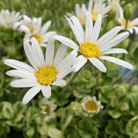 ブルーデージー ペガサス 花色は白いけどブルーデージー 花芽付【ラッキーシール対応】