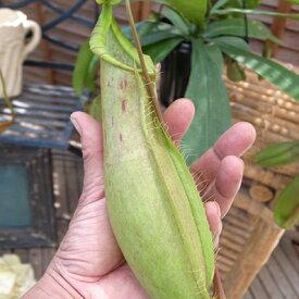ネペンテス ルイーザ5号サイズ 吊り鉢 ビックな食虫植物 販売 種類 通販 種類