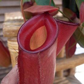 ネペンテス レディーラック 5号サイズ 食虫植物 ネペンテス Nepenthes 販売 種類 通販 種類