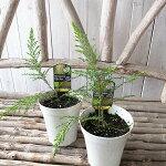 モスキートブロッカー観葉植物モスキートブロッカー虫除け蚊を寄付けない花も楽しめるすぐれものモスキートブロッカー販売通販種類虫除け蚊よけ