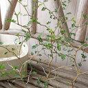 ソフォラミクロフィラ リトルベイビー 苗 屈曲した枝につく小さな葉が可愛らしいメルヘンチックな植物 メルヘンの木 高さ30cm 販売 通販 種類