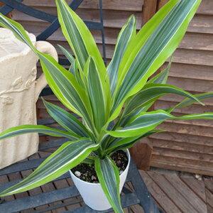 ドラセナワーネッキー レモンライム 4号サイズ 鉢植え 明るい窓辺に合うコンパクトな観葉植物 販売 通販 種類 高さ30cm グリーン 緑