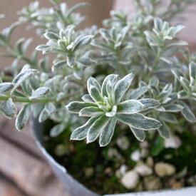 オーストラリアンローズマリー スモーキーホワイト 苗 ホワイトの斑入り葉 販売 通販 種類