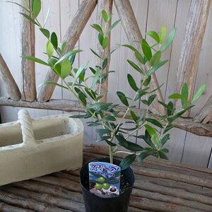 オリーブ ネバディロブランコ 大苗 シンボルツリー 苗木 室内観葉植物 販売 通販 種類 高さ40cm