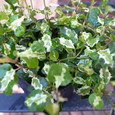 プミラ コアラ 苗 常緑蔓性低木 面白い斑入り葉が特徴で枝垂れるよう育つ植物 販売 室内 観葉植物 通販 種類【ラッキーシール対応】