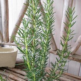 ローズマリー マリンブルー 大苗 ガーデニング寄せ植えアイテムとしても人気の植物 高さ30cm【ラッキーシール対応】