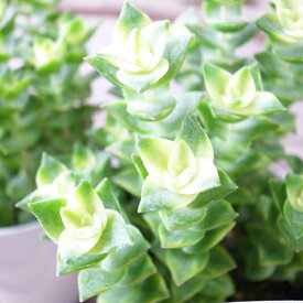可愛い 多肉植物 クラッスラ ミナミジュウジセイ 3.5号サイズ 鉢植え タニクショクブツ 多肉女子 クラッスラの仲間で星の王子の斑入り種になります